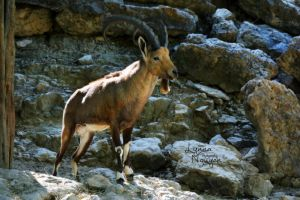 The proud Ibex by ShineeDragon