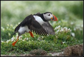 The Speedy Puffin by nitsch