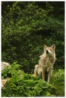 Mexican Wolf 018 by ShineOverShadow