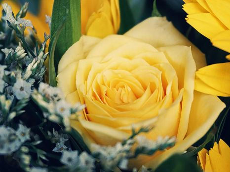 Lovely Yellow Rose by WillTC