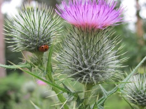 lady bird on a thistle by ownedsince82