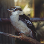 Kookaburra by MonsterBrand