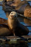 Sea Lion Posing for a picture! by WesHPhotography