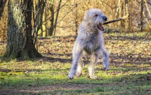 .: Dancing Wolfhound :. by Frank-Beer