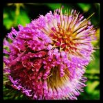 Thistle Flower by Ozzy-2