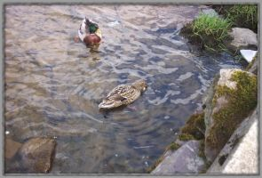 Ducks - Number 1. by bisi