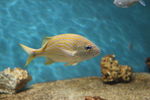 Yellow Striped Ocean Fish by Blicrowave-Bloven