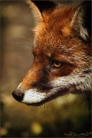 ..Fox Eye.. by WhiteSpiritWolf