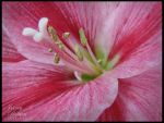 Burst of Pink by JRollendz