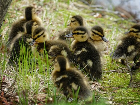 Baby ducks clustered by Mogrianne