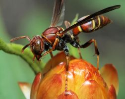 King Wasp by craftworker