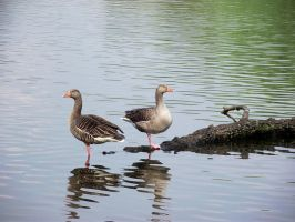 One Legged Geese by Vicky100296