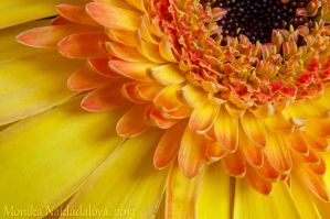 Yellow Gerbera Close-Up by amrodel