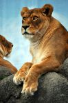 African Lion.1. by HecklingHyena