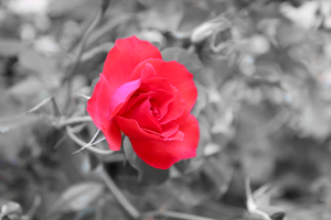 Flowers: Rose 9 by Abletodoall