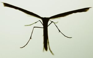 Plume Moth: Detail by AndySimmons
