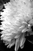 Aster in BW 02 by marrysa