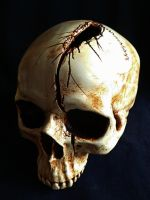 Skull With Axe Wound by skullsdirect