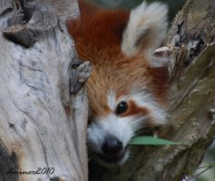 Red Panda 2 by DanielleMiner