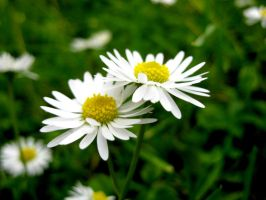Daisies by dl-p