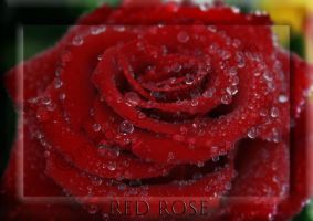 Red Rose by mep92