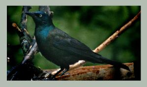 Male Grackle by richardcgreen