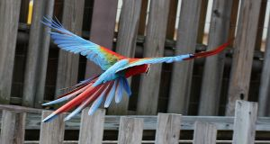 Bird Stock 15: Scarlet Macaw Flying by HOTNStock