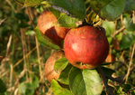 autumn apples by iPod23