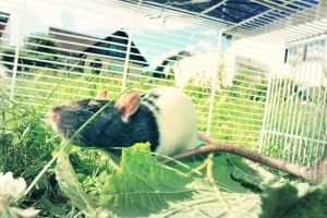 Oh its just a Rat by HeidiSmile