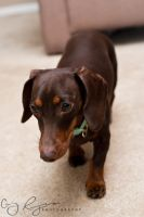 Dachshund 2 by creynolds25