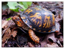 Eastern Box Turtle by littleredelf