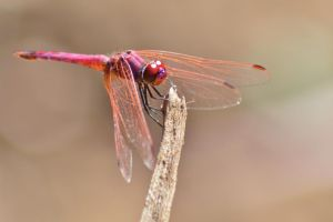 Dassia dragonfly August 2014 2 3 by melrissbrook