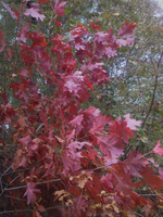 The Leaves Of Red October by AngelsWillFallFirst