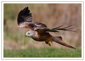 Red-kite by Jamie-MacArthur