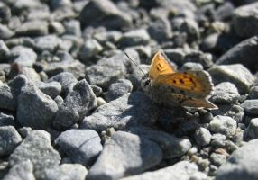 Alpine Butterfly by nephelae