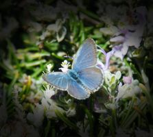 Common Grass Blue by jodipheonix