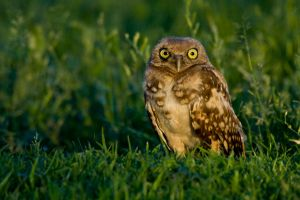 Burrowing Owls 5.2 by gwegowee