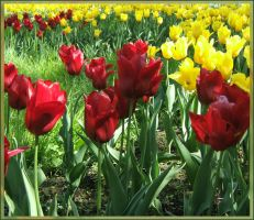 Red and yellow tulips by mirator