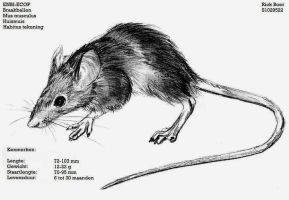 M. musculus - habitus by RBF-productions-NL