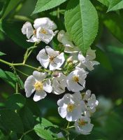 More Wild Roses by Tailgun2009