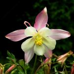 Columbine - Full Frontal by EarthHart