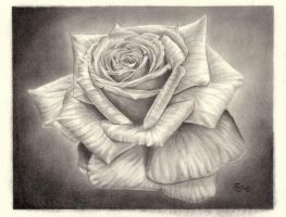 Rose by alessium