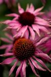 Coneflower by dpierce1313