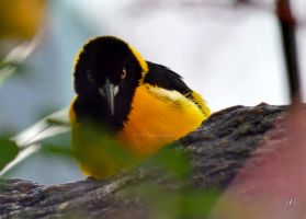 I Said No Pictures... The Venezuelan Troupial by AzureWindProductions