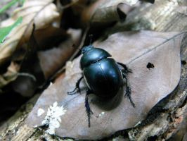 Geotrupes Vernalis by daisyke