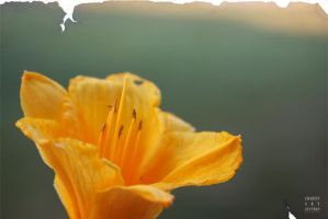 simply a daffodil by whisperedpeace