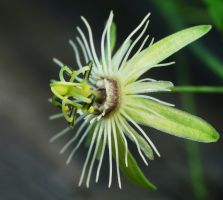 Passiflora.., by duggiehoo