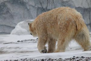 Polar Bear 5 by S-H-Photography