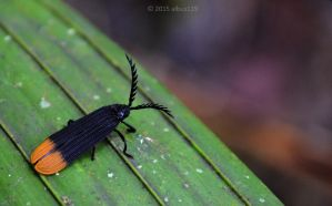 Net-winged beetle by albus119