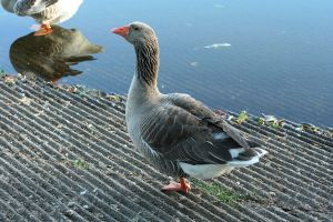 Geese50 by MaelstromStock
